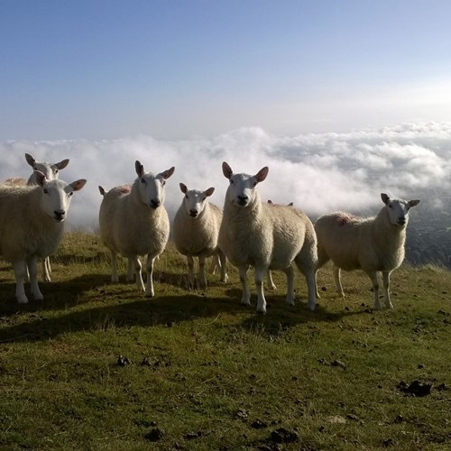 Herd of sheep on Malvern Hills