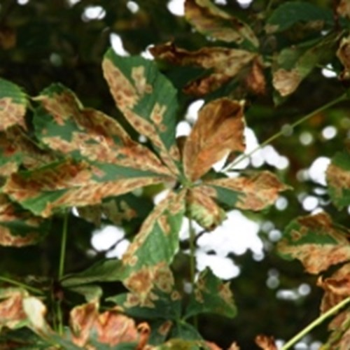 Horse chestnut leaf miner damage.jpg