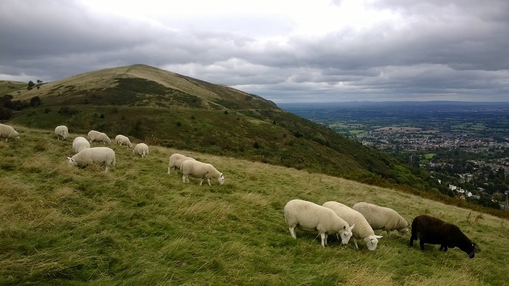 2013.10.09 Sheep grazing east Worcestershire Beacon (4) low res.jpg