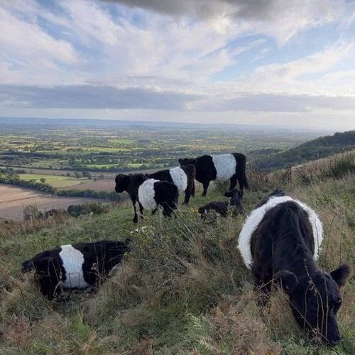 Belted Galloway Central Hills cropped.jpg